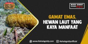 Read more about the article Gamat Emas, Hewan Laut yang Kaya Manfaat