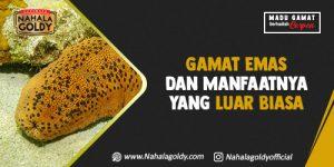 Read more about the article Gamat Emas dan Manfaatnya yang Luar Biasa